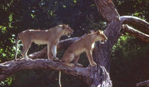Leijonia Manyaran kansallispuistossa tammikuussa 1976.